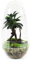 Kamerplant van Botanicly – Egg Medium Closed - Ficus Ginseng – Hoogte: 25 cm