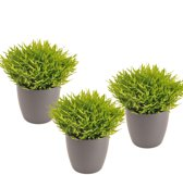 Bamboo plantje (Pogonatherum Bamboo) ieder in sierpot (antraciet) per 3 stuks.