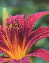 Lily Red Blossom Daylily Petal Garden Gardening Tropical Nature Bloom Water