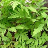 6 x Onoclea Sensibilis - Bolletjesvaren pot 9x9cm