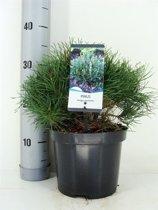 Pinus mugo var. pumilio; Totale hoogte 30+cm incl. Ø 19cm pot | Dwergbergden | Alle seizoenen lichtgroen van kleur