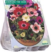 Anemone (Anemoon) bloembollen - The Caen Mix - 2 x 30 stuks