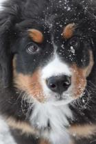 Bernese Mountain Dog Puppy Playing in the Snow Journal