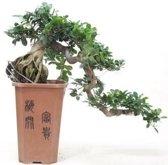 Bonsai Ficus Cascade 70 cm, 26 CM potdiameter