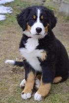 Bernese Mountain Dog Puppy Sitting on a Path Journal