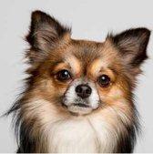 Diamond Painting pakket volwassenen | Chihuahua - 40 x 40 cm | Volledige bedekking met vierkante steentjes | FULL | DP Diamond Paintings