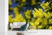Fotobehang vinyl - Een gele mimosa plant breedte 420 cm x hoogte 280 cm - Foto print op behang (in 7 formaten beschikbaar)