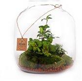 Kamerplant van Botanicly – Big vase open - Fittonia / Aspergus Plumosus – Hoogte: 25 cm