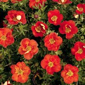 Potentilla Fruticosa 'Red Ace' - Ganzerik|Vijfvingerkruid 25-30 cm in pot