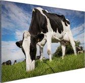 Close-up van grazende koe Aluminium 60x40 cm - Foto print op Aluminium (metaal wanddecoratie)