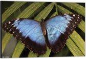 Dibond – Blauw / Zwarte Vlinder– 90x60 Foto op Aluminium (Wanddecoratie van metaal)