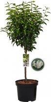 Portugese laurierkers op stam - Prunus Lusitanica Angustifolia - 85 cm