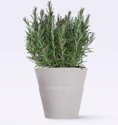 1 Rozemarijn Plant (Rosmarinus officinalis). Leuk voor in de Keuken!