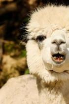 Smiling Alpaca Journal