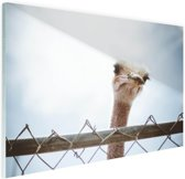 Struisvogel kijkt over hek Glas 90x60 cm - Foto print op Glas (Plexiglas wanddecoratie)