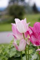 Charming Pink Tulips in the Spring Flower Garden Journal