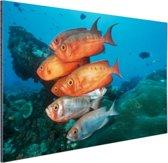 Rode en grijze vissen bij Zuid-Afrika Aluminium 120x80 cm - Foto print op Aluminium (metaal wanddecoratie)