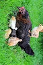 Mother Hen Chicken and Her Chicks Journal