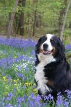 Bernese Mountain Dog Sitting in the Wildflowers Journal