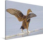Eidereend met uitgestrekte vleugels Canvas 30x20 cm - klein - Foto print op Canvas schilderij (Wanddecoratie woonkamer / slaapkamer)