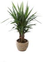 Kamerplant - Yucca Elephantipes - 3 stammig - ↑ 90cm - inclusief waterdichte mand