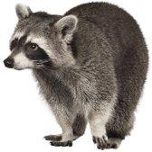 KEK Amsterdam - Muurstickers - Forest Friends: Raccoon