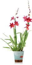 Inca Nelly Orchidee 70cm - Rood