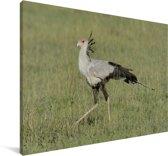 Secretarisvogel loopt door het gras Canvas 140x90 cm - Foto print op Canvas schilderij (Wanddecoratie woonkamer / slaapkamer)