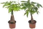 2x Pachira Aquatica - Watercacao -  Kamerplant in Kwekers Pot ⌀12 cm  -  Hoogte ↕35 cm