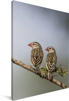Twee roodbekwevers op een takje Canvas 80x120 cm - Foto print op Canvas schilderij (Wanddecoratie woonkamer / slaapkamer)
