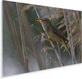 Kleine karekiet aan het zingen Plexiglas 180x120 cm - Foto print op Glas (Plexiglas wanddecoratie) XXL / Groot formaat!