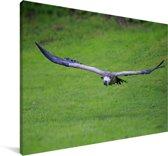 Vale gier vliegt over een gifgroen grasveld Canvas 60x40 cm - Foto print op Canvas schilderij (Wanddecoratie woonkamer / slaapkamer)