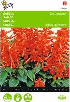 Vuursalie Sint Jansvuur - Salvia splendens - set van 6 stuks