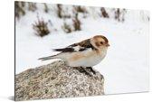 Een sneeuwgors op een steen in de sneeuw Aluminium 30x20 cm - klein - Foto print op Aluminium (metaal wanddecoratie)