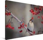 Pestvogel eet een rood besje Canvas 30x20 cm - klein - Foto print op Canvas schilderij (Wanddecoratie woonkamer / slaapkamer)