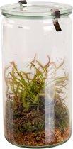 Swampworld Glas XXL - Vleesetende Plant - Zonnedauw