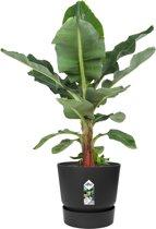 Choice of Green Musa Dwarf Cavendish Bananenplant - In pot zwart - Hoogte ↑ 80-90 cm - Pot Ø 30 cm