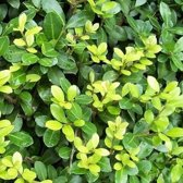 24 stuks Ilex crenata 'Dark green' - Japanse Hulst P9 (stukprijs €. 3.50)