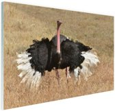Struisvogel doet paringsdans Glas 120x80 cm - Foto print op Glas (Plexiglas wanddecoratie)
