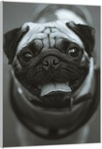 Plexiglas –Pug in het Zwart-Wit – 100x150cm  (Wanddecoratie op Plexiglas)