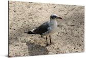 Lachmeeuw op het zand Aluminium 180x120 cm - Foto print op Aluminium (metaal wanddecoratie) XXL / Groot formaat!