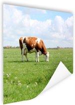Bruin-witte koe in de wei Poster 50x50 cm - Foto print op Poster (wanddecoratie woonkamer / slaapkamer) / Dieren Poster