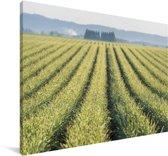 Weergave van knoflookplanten in de Verenigde Staten Canvas 180x120 cm - Foto print op Canvas schilderij (Wanddecoratie woonkamer / slaapkamer) XXL / Groot formaat!