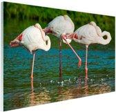 Europese flamingos in het water Glas 120x80 cm - Foto print op Glas (Plexiglas wanddecoratie)