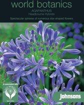 Agapanthus Headbourne Hybrids - set van 4 stuks