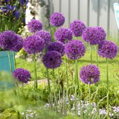 Allium Aflatunense Purple Sensation per 100 stuks = 10m² - Bolmaat 10/12 - Sierui - Sterrenlook - Paars - Bloembollen