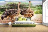 FotoCadeau.nl - Vrouwelijke struisvogels Fotobehang 380x265