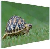 Schildpad op gras Glas 180x120 cm - Foto print op Glas (Plexiglas wanddecoratie) XXL / Groot formaat!