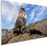 Een galapagospinguïn op het vaste land Plexiglas 40x30 cm - klein - Foto print op Glas (Plexiglas wanddecoratie)