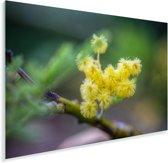 Een kleine mimosabloem met een wazige achtergrond Plexiglas 120x80 cm - Foto print op Glas (Plexiglas wanddecoratie)